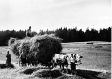 Garbenwagen mit Kuhgespann